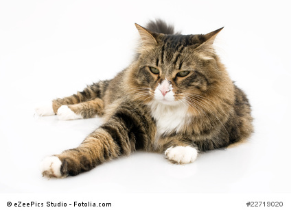 Norwegian Cat With Bored Expression Isolated On White Background