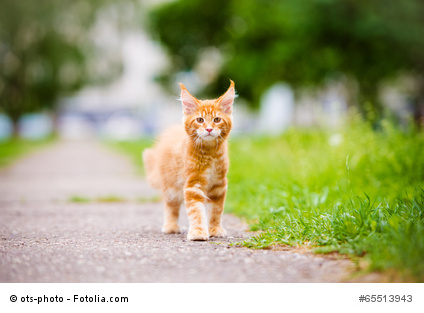 Maine Coon Katze Spaziergang